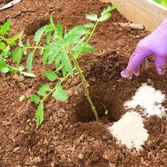 Epsom salt as fertilizer, pest deterrent, and seed starter. For tomatoes: Drop 1 cup epsom salt and 1 cup of granulated sugar along with a few eggshells into the hole. Also, plant Marigolds with edibles to keep pests away.