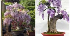 How to Grow Wisteria in a Pot | Beautiful, Wisteria and Awesome