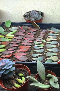 Succulent Leaf Propagation Learn to make hundreds of succulents in a couple of months with propagation succulent propagation succulent gardening succulent care indoor. Propagate Succulents From Leaves, Types Of Succulents, Growing Succulents, Succulents In Containers, Cacti And Succulents, Planting Succulents, Caring For Succulents Indoor, Propogate Succulents, Succulent Arrangements