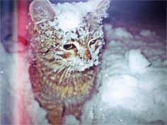 Cats in Snow   Pin by Alex Brownstein on ...guess who lost the snowball fight!   Pin ...