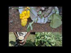 Medicinal Rice P5N Formulations for Nyctocalos Excess: Pankaj Oudhia's M...