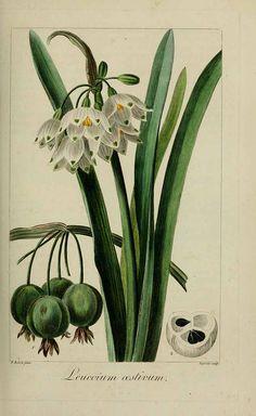 191753 Leucojum aestivum L. / Mordant De Launay, F., Loiseleur-Deslongchamps, J.L.A., Herbier général de l'amateur, vol. 7: t. 484 (1817-1827) [P. Bessa]