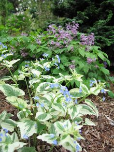 Brunnera 'Variegata' and Epimedium 'Lilafee""