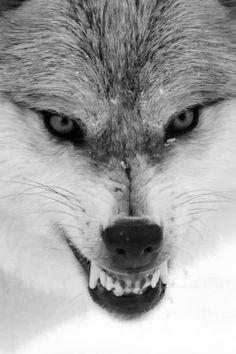 Wolf Spirit, Spirit Animal, Beautiful Creatures, Animals Beautiful, Snarling Wolf, Canis Lupus, Wolf Hybrid, Angry Wolf, Wolf Eyes