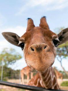 Rare giraffe twins born at Natural Bridge Wildlife Ranch in New Braunfels, Texas celebrate their first birthday.