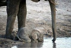 A baby elephant drinking...when they are this young, they don't know how to use their trunks to drink.