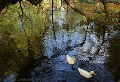 Ducks on the lake at Worcester College, #Oxford.  #autumn