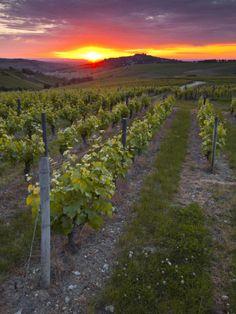 Vineyards, Sancerre, Cher, Loire Valley, Centre, France