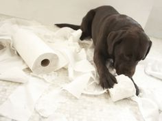 get Labrador stikers Stop Puppy From Biting, Puppy Biting, Chocolate Labradors, Chocolate Labs, Chocolate Brown, Dog Last Day, Puppy Playpen, Brown Labrador, Puppies