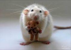 Resultado de imagem para wistar rats