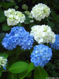 No matter where you live there's a Hydrangea for you - and once you fall in love with one you'll find out something important: it turns out it's impossible to only have one, because you'll want more and more, therefore having several in your garden is the only solution.