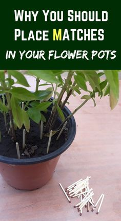 Why You Should Place Matches In Your Flower Pots - House Plants - ideas of House Plants - There is a very simple trick that can improve the appearance of your plants quickly. All you need is a simple easy to find box of matches. Diy Garden, Herb Garden, Garden Projects, Garden Plants, Easy House Plants, Gnats In House Plants, Succulents Garden, Garden Mesh, Garden Urns