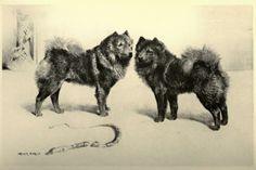 Dog evolution - Chow-chow - Kutya Portál. Kutya Evolúció - Chow-Chow - Kutya Portál.