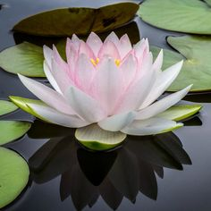 Emerge like a lotus beneath the muddy waters this week - bloom with new goals happy Monday! Pink Lotus, Lotus Flower, Nelumbo Nucifera, How To Make Tea, Stress Relief, Wall Signs, Wicca, Beautiful Flowers, Bloom