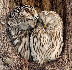 Discovered by Eugenia. Find images and videos about animal and owl on We Heart It - the app to get lost in what you love. Owl Photos, Owl Pictures, Beautiful Owl, Animals Beautiful, Owl Bird, Pet Birds, Cute Funny Animals, Cute Baby Animals, Nature Animals