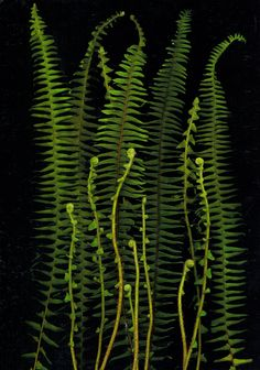Garden Book - Sometimes the roots of a plant can be as beautiful and interesting as . Botanical Drawings, Botanical Prints, Flowers Wallpaper, Poster Photo, Fern Frond, Green Nature, Arte Floral, Belle Photo, Shades Of Green