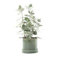 Green Lifestyle Store Kamerplant Kalanchoe Hildebrandtii - Incl. 'Deep Forest' pot