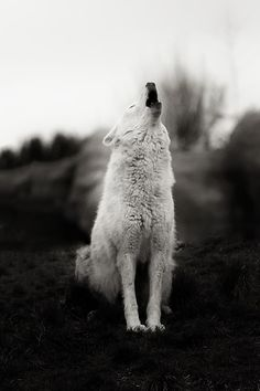 Howling Wolf (by Alex Bruce) Beautiful Creatures, Animals Beautiful, Cute Animals, Wolf Spirit, My Spirit Animal, Planeta Animal, Tier Wolf, Coyote Hunting, Archery Hunting