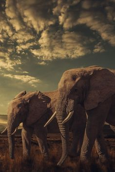 Wild but loyal , ⚡️ All About Elephants, Elephants Never Forget, Save The Elephants, Wild Elephant, Elephant Love, Elephant Stuff, Elephant Walk, Beautiful Creatures, Animals Beautiful