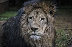 Going home: Simba the Lion travelled miles from Belgium to Malawi, where he will life at a willdlife centre After Eight, Ocelot, Animal Cruelty, Going Home, Predator, Big Cats, Lions, Wildlife, Africa