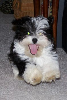 Havanese...you've got that crazy look in your eyes again Harry!