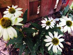 Echinacea, my obsession! Canning, Plants, Home Canning, Plant, Planting, Planets, Conservation