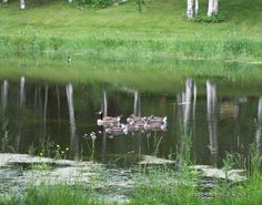 Momma duck & babies on a relecting pond by seeAroostook on Etsy