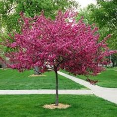 Royal Raindrops Crabapple Tree Trees And Shrubs, Flowering Trees, Trees To Plant, Blooming Trees, Evergreen Trees, Fruit Trees, Dwarf Trees For Landscaping, Front Yard Landscaping, Sidewalk Landscaping