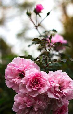 Garden Roses © Amanda Simonelli