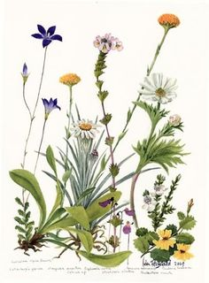 helen fitzgerald botanic artist | Helen Fitzgerald | American Society of Botanical Artists
