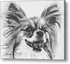 Papillon Dog Drawing Acrylic Print By Kate Sumners