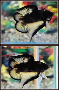 fwbettasdt1438212960 - DT Black Betta Fish Types, Betta Fish Tank, Beta Fish, Pretty Fish, Cool Fish, Beautiful Fish, Aquariums, Betta Breeding, Aquascaping