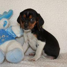 queen elizabeth pocket beagle
