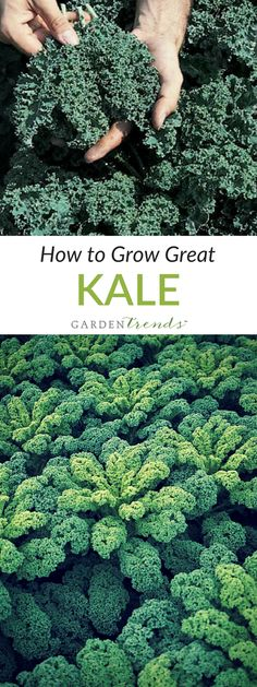 Kale is one of the most cold weather hardy vegetables you can grow in your garden, and it is easy to propagate. Sow it directly outdoors right through July, and harvest young leaves for the best flavor and texture when mixing in salads. Click here to read how to grow great Kale! #gardentrends #kale #vegetablegarden #growyourown