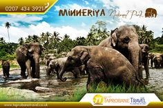 Minneriya #National Park: The park located in North Central Province of Sri #Lanka. The park is a #dry season #feeding ground for the #elephant #population dwelling in #forests of Matale, #Polonnaruwa, and #Trincomalee #districts. |   Source: https://en.wikipedia.org/wiki/Minneriya_National_Park |   #MinneriyaNationalPark #NationalParksinSriLanka #travel #taprobanetravel #flightstosrilanka  |    Immerse yourself in a tropical #paradise, Book #Flights now…