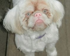Ewok - HELP! is an adoptable Shih Tzu Dog in Grand Rapids, MI.  Breed: Shih Tzu  DOB: 2009 Sex: Neutered Male Weight: 12 pounds I am a little different from other dogs because I am an albino but other...