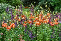 Garden ideas, Border ideas, Plant Combinations, Flowerbeds Ideas, Summer Borders, Summer Borders, Fall Borders, Lilium lancifolium, Tiger lily, Lobelia speciosa