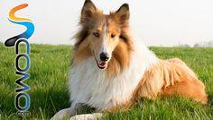 El perro Collie de pelo largo