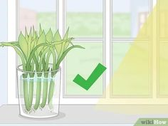 How to Propagate Lucky Bamboo: 14 Steps (with Pictures) - wikiHow Bamboo House Plant, Bamboo Plant Care, Lucky Bamboo Plants, House Plants, Diy Flowers, Flower Pots, Bamboo Landscape, Lucky Plant, Plantas Bonsai