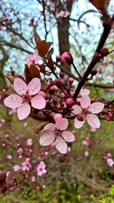 #Frühling kann so schön sein! Blütenmeer in #Rosa.  © by Tamara's Mikrokosmos