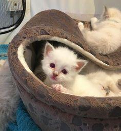 Gosh Benny you're breaking my (Ben&Jerry's) #minimazarinerna2017 #birma #birman #breeder #catsofinstagram #chokladochvanilj #kitten #pinkalicious #welovecats #we_love_cats #excellent_kittens #excellent_cats #bestcats_oftheworld #birman_cats_lovers #birman_feature #birmavanner