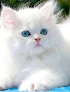 Fluffy white cat