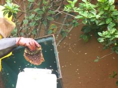 Bee removal in Johannesburg , removed bees in a garden at  Hauhinia avenue , roodepoort