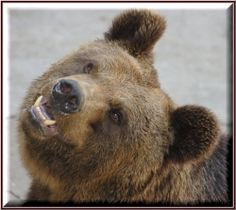 The brown bear (known as the grizzly in the Lower 48 states) is a large predator distinguished from black bears by a distinctive hump on the shoulders,...
