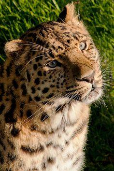 Amur Leopard In The Sun
