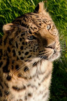 Amur Leopard In The Sun