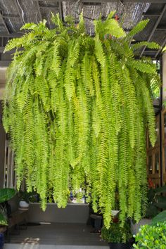 Bringing ferns indoors for winter is a great way to add a little indoor color - and save on the gardening budget. Indoor Ferns, Potted Ferns, Outdoor Plants, Tropical Garden, Tropical Plants, Hanging Ferns, Hanging Baskets, Ferns Garden, Shade Garden