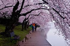 Cherry blossoms, Tidal Basin,  Washington DC USA