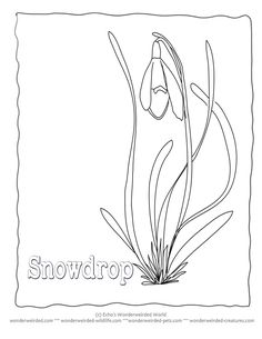 Spring flower coloring pages from our nature activities for kids snowdrop flowers to color snowdrop pictures from our flower coloring sheets snowdrop outline templates in black and white drawings for spring coloring fun mightylinksfo