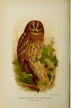 Tawny, Brown or Wood-owl, from Coloured figures of the birds of the British Islands /By Lilford, Thomas Littleton Powys, Baron, 1833-1896 Keulemans, J. G. (John Gerrard), 1842-1912